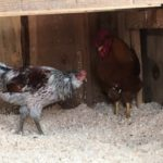 Best Bedding for Chicken Coop