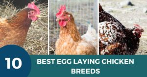 Egg Laying Chicken Breeds
