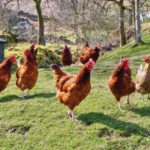 Raising Chickens for Meat and Eggs