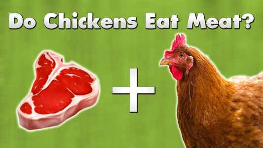 What Do Chickens Eat?