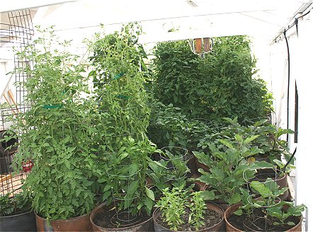 green house full of tomato