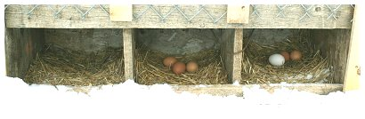 rceggs in the nests