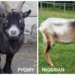 Nigerian Dwarf Goat vs Pygmy Goat vs Cross