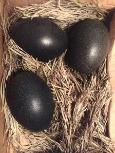 What Chicken Breed Lays Black Eggs