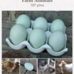 What Chicken Breed Lays Blue Eggs