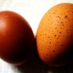 What Chicken Breed Lays Speckled Eggs