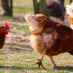 what chicken breed lays the most eggs