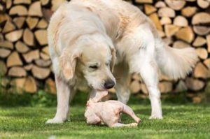 Can Dogs Eat Breed Chicken