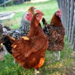 Can Mixed Chicken Breed Live together