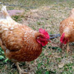 Which Chicken Breed Is Best For Eggs