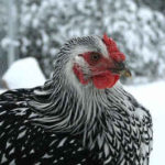 Chicken Breed For Cold Weather