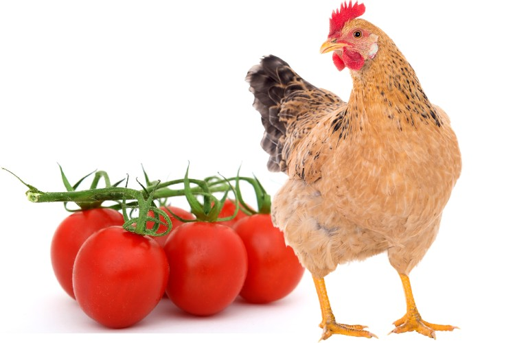 Can chicken eat Tomatoes